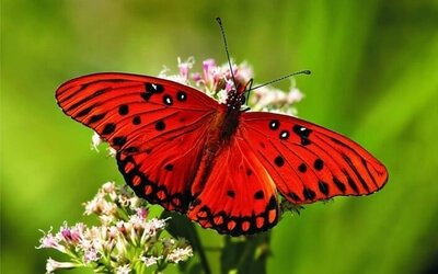 red colored butterfly